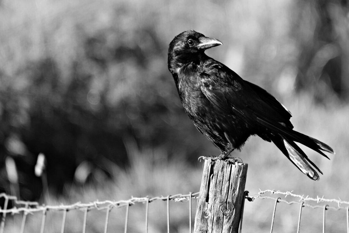 Krähe auf einem Zaun